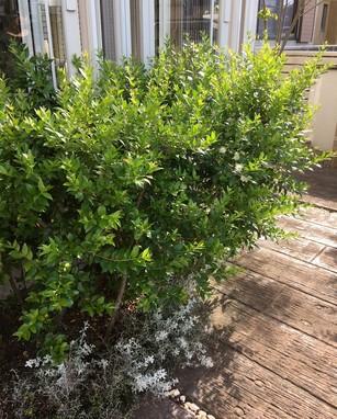 樹木*ギンバイカ
