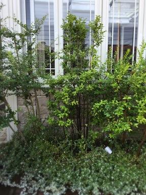 樹木*クロソヨゴ